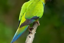 Nandayus / Il genere nandayus comprende solamente una specie, il nayandus nenday, o conuro Nanday. Si tratta di un pappagallo molto diffuso ed apprezzato in cattività per il suo buon carattere, anche se si tratta di un volatile molto rumoroso.  http://www.pappagallinelmondo.it/nandayus.html