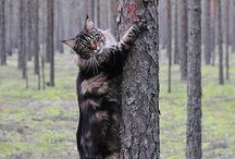 Chats maine coon
