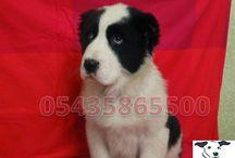 Satılık Alabay Çoban köpeği / Satılık Alabay Alabai Çoban Köpeği Yavrularımızın fiyatları  http://www.satilikyavruilani.com/2015/03/alabay-coban-kopegi-yavrulari.html