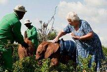 Little Cute Elephants / Since 1977, Dr. Dame Daphne Sheldrick has been raising elephant orphans by herself which are homeless after their parents were slaughtered for ivory trade.