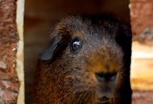 Guinea piggles ♡
