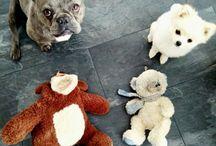 Frenchie Fay / Französische Bulldogge, Hund, blue frenchie, French bulldog,