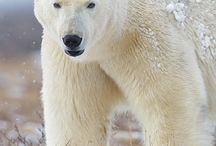 My Passion...Polar Bears / by Debi Pack