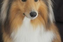 Doggy love / Shelties and other adorable pooches