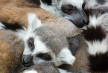 I  looooove lemurs / I'm obsessed with these quirky guys. Don't judge me.