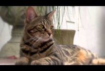 Cat Videos / This is a collection of videos and mini films about the now famous, Chronicles of Zee & Zoey Cats!!