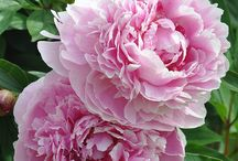 Paeonia- Romanian National Flower