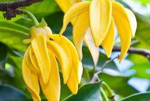 """Ylang ylang / Grand arbre au port érigé puis retombant. Cette plante vit dans les zones tropicales humides. La fleur jaune et de grande taille est souvent considérée par la tradition comme étant """"la fleur des fleurs"""". Le parfum des fleurs très chaud et fleuri est entêtant, sucré et pénétrant. (M.Faucon)"""