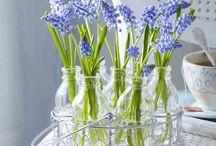 Blaue Schätzchen im Frühling: Traubenhyazinthen