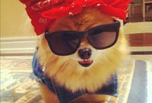 Pomeranians <3 / I'm a proud owner of my Pomeranian Princess Lily so this board is dedicated to her sweet little self :)