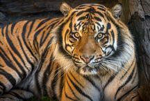 Sumatran Tigers / by Los Angeles Zoo