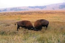 Yellowstone National park / http://CMTRavelAnd on Blogspot.