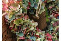 Bloemen / Hortensia