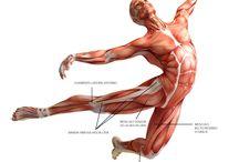 ANATOMÍA FÁCIL / Descripción y localización para andar por casa de los diferentes músculos del cuerpo. Explicación lígera para que descubrirnos muscularmente no resulte un tostón.