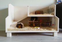Guinea pigs / cavias