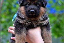 german shepherd dog pappies for sale / На продажу щенки немецкой овчарки от Гермеса фом Хаус Ширан #german shepherd #dog #pappies #for sale