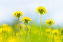 Plants [Dandelion]