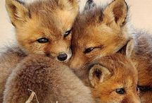 animals . fox ♥