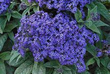 Garden - Annual