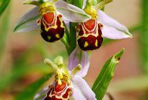 Orquídeas mimetismo