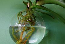 orchids care / orchidee e coltivazione