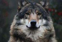wolves / by Sabrina Rish