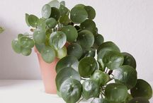 ♥ The Pilea Gallery ♥ / An ode to the ever popular houseplant Pilea Peperomioides