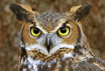 Kennesaw State Official Owl -The Great Horned Owl