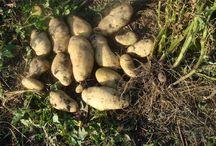 Картофель, топинамбур