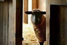 Sheep,lambs