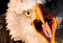 Eagle Portraits   Eyeshine Photography