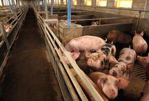 Wiadomości rolnicze- Zwierzęta gospodarskie / http://www.agrofakt.pl/kategoria/zwierzeta/
