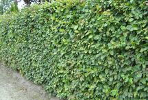 Garden hedge / Hagen, tuinen, hedge