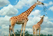 Giraffes always make me smile :) / by Cori Jean