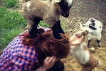 Goats / Just because I love goats!  :)