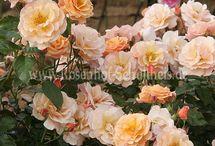Rosen für den Balkon