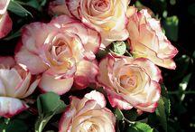 Rosas minha paixão !