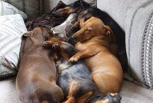 Cute Dogs :: Dachshund