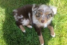 Mini Aussie / Different Photos and Tips for Mini Aussies