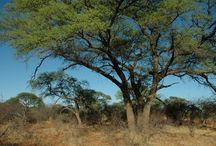 Fauna & Flora  of the Mabalingwe Nature Reserve, Bela-Bela, Limpopo, South Africa / The Waterberg  is home to 129 mammal, 350 bird and over 2,000 plant species with a number of endemic or red data butterflies, fish and reptile species, making it an extremely important conservation area.  #SouthAfrica #vacation #bushveld #selfcatering #trees