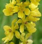 Fleur de Bach pour chien / Liste l'ensemble des fleurs de bach utilisé pour soigner les chiens. Il s'agit d'un traitement naturel sans danger ayant fait preuve d'efficacité.