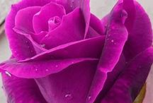 Rose Rani color