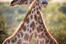 Animals -- Giraffes / by Lauren G