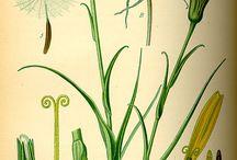 rośliny polne
