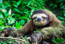Where to See Costa Rica Sloths | International Sloth Day / Costa Rica sloths can be found just about everywhere in the country's biodiverse-rich environment. In celebration of International Sloth Day, we're taking a look at the slow-moving tree-dwellers of Central and South America and where you can see sloths in Costa Rica for yourself.