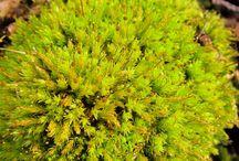 Mechy / mosses, Moose, mousses, musgos, мхи, mosse, 苔藓, الطحالب