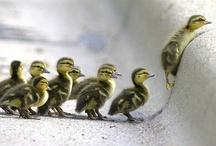 ducklings ♥