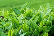 Çay Hakkında / Çay hakkında geniş bilgi edinebileceğiniz blog yazıları.
