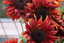 Plants - Sunflowers