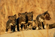 Africa's Painted Wolves / Wild dogs